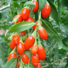 Nêspera Ningxia Himalayan Goji Berry