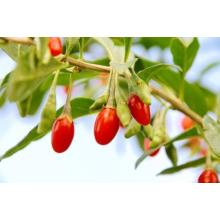 Long Sweet Oval Goji Berry Kering