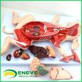 A02 (12002) Cerdo extraíble Modelos anatómicos de los órganos extraíbles para el estudio del veterinario 12002