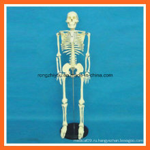 85 см. Высокий скелет человека.