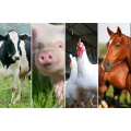 Amino Acid L-Tryptophan Min. 98.5% for Poultry Healthy Blance