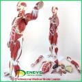 MUSCLE01 (12023) Nummeriertes 78cm hohes anatomisches menschliches Muskelfigurmodell, 27-teilig, 1/2 Lebensgroße 12023