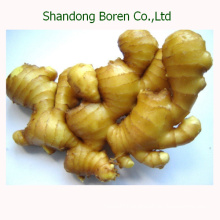 2015 Chinese New Sushi Export Grade Fresh Ginger
