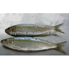 Pescado de sardina fresca fresca congelada