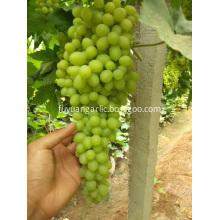 Fresh Thompson seedless grape