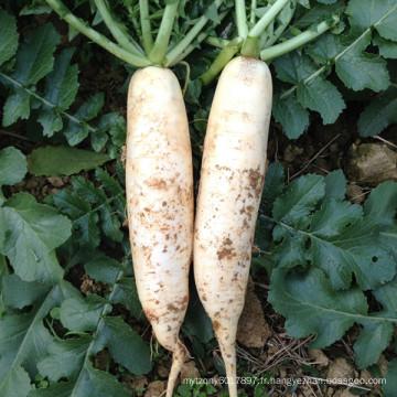 HR02 Fam blanc OP radis graines dans les graines de légumes