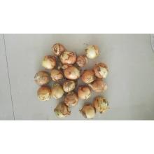 Ajo fresco precio de mercado de cebolla fresca para la cebolla amarilla