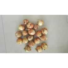 fresh garlic fresh onion market price for yellow onion