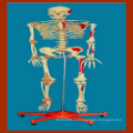 170 Cm Медицинский скелет человека с рисунком мышц и связок
