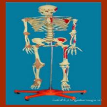 170 Cm Modelo médico de esqueleto humano com músculo pintado e ligamento