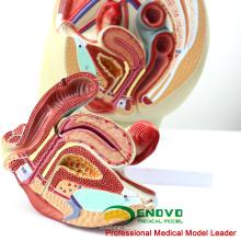VENDER 12440 Sección de la pelvis de tamaño natural Anatomía de la anatomía del modelo 3part