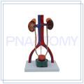 PNT-0567 modelo de sistema urinario humano sólido