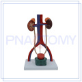 PNT-0567 solid human urinary system model