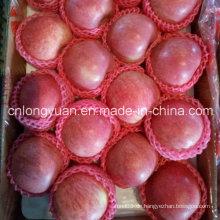 Red Fresh Qinguan Apple für Indien