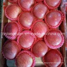 Red Fresh Qinguan Apple pour l'Inde
