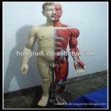 ISO 170cm Deluxe Vollkörper Männliche Muskeln Modell mit internen Orgel