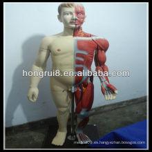 ISO 170cm modelo de músculos masculinos de cuerpo completo con órgano interno