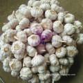 Purple Good Quality Chinese Garlic