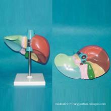 Modèle d'anatomie du foie humain imprimé et numéroté pour l'éducation (R100104)