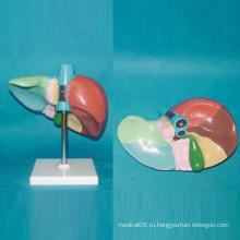 Печатная и нумерованная модель анатомии человеческой печени для обучения (R100104)