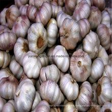 Nuevo cultivo chino Ajo blanco normal, ajo rojo