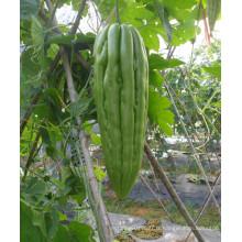 HBG02 Biaoshi 26 à 30cm de longueur, vert clair OP graines de courge amère