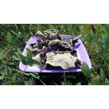 Fungo preto traseiro secado do branco e comprar o cogumelo grande da orelha da madeira da quantidade