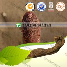 Pure Natural Herb Medicine Cynomorium Songaricum Suo Yang