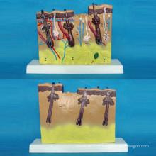 Modelo Anatômico de Pele Humana Ampliada para Ensino Médico (R160110)
