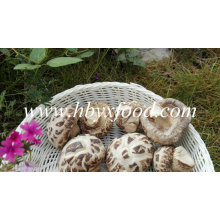 Dried Shiitake Mushroom with Stem (White Flower)