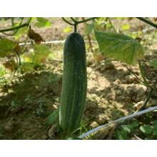 HCU06 Fabu 32cm de longitud, semillas de pepino chino F1 híbrido