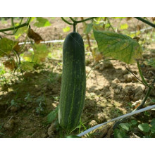 HCU06 Fabu 32cm in length,chinese F1 hybrid cucumber seeds