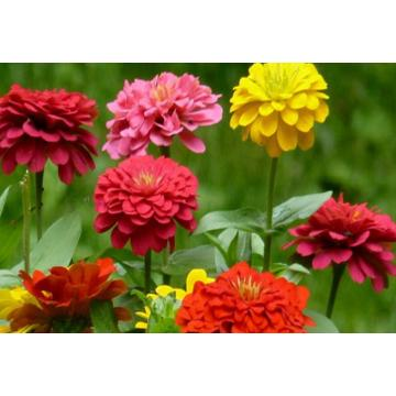 Purple youth-and-old-age beautiful flower natural purple zinnia elegans seeds