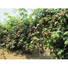 IQF Freezing Organic Blackberry Zl-005