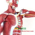 MUSCLE01 (12023) Numerado 78cm Anatômica Humana Modelo Muscular Alta Figura, 27-partes, 1/2 Life Size 12023