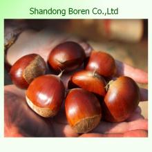 2015 Nuevo Cultivo Chino Alimento Chestnut Fresco
