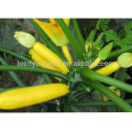 SQ14 Huangse ранне-средний срок погашения гибрид F1 желтый сквош семена