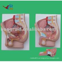Modelo de anatomía sagital masculina (2 piezas)