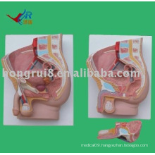 male sagittal anatomy model (2 piece)