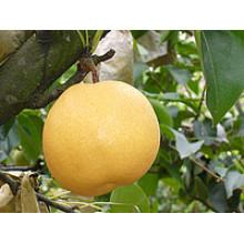 Chine Nouvelle plante Fengshui Pear