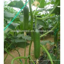 CU21 Lilv все женщины гибридные семена огурцов теплицы посадка семян овощей