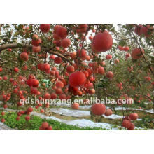 fuji apple from china