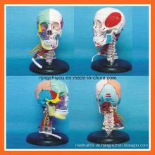 Menschliches Schädel-Knochentrennung Farbiges Anatomisches Medizinisches Modell