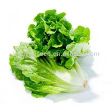 NLT08 Lvis meilleures graines de laitue verte Chine