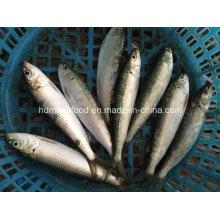 Neues Land Gefrorene Meeresfrüchte Sardine Fisch
