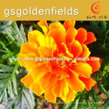 Meistverkaufte heiße chinesische Ringelblume