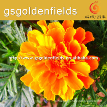 100%pure nature wild tagetes erecta or marigold