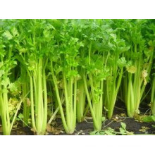 Wholeseller of New Crop Fresh Celery