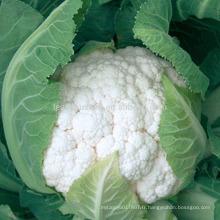 CF60 Genius 60 jours résistant à la chaleur précoce maturité graines de chou-fleur hybride