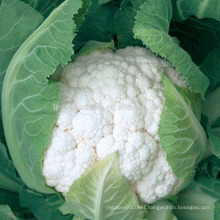 CF60 Genius 60 days heat resistant early maturity hybrid cauliflower seeds